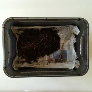Die Würmer samt Substrat (statt Substrat gehen auch 2 Hände Erde oder Sand) auf die obere Lage Zeitung schütten und ...